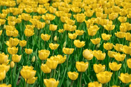 Yellow tulips background with average deep of view Stock Photo - 6078210