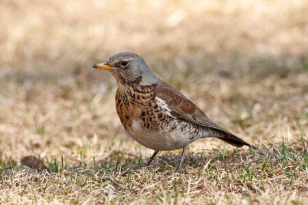 one fieldfare bird portrate on yellow grass photo
