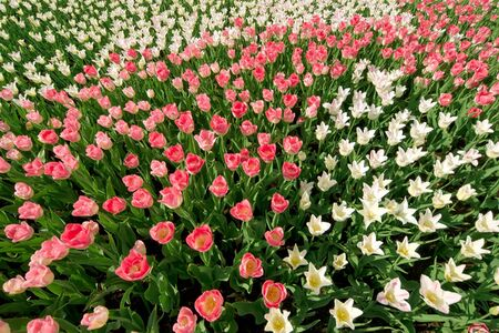 red and white tulips on flower bad under sun light photo
