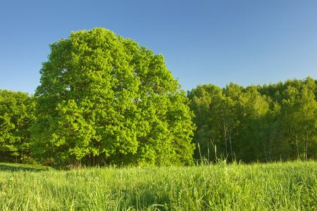 field maple: huge tree under sunlight with trees background