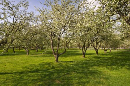 Bloomy apple tries in garden with green grass photo