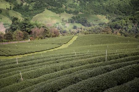 hight tech: Chiangrai Tea Plantation