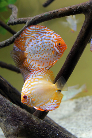 discus: two discus fish in aquarium