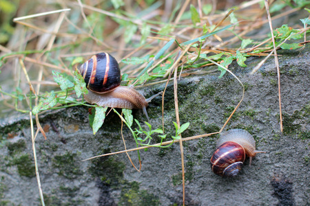 freshwater snails: two snails on a stone covered with moss
