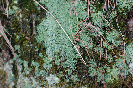 Embossed texture of the brown bark of a tree with green moss and lichen on it.