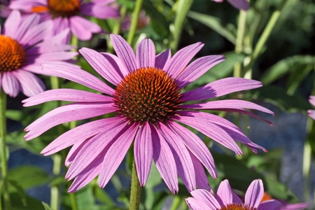 Echinacea purpurea photo