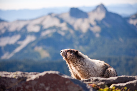 mount rainier: Marmot sitting on a rock in Mount Rainier National Park Stock Photo
