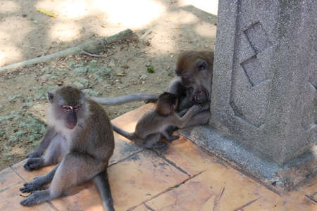 barbary ape: Apes