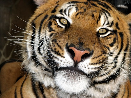 The beautiful tiger looking into the camera Stock Photo
