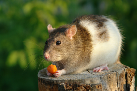 gnaw: Funny mouse nibbles a carrot                                 Stock Photo