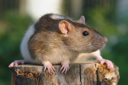 Funny mouse sitting on the green background