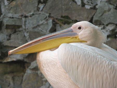 pompous: Pompous pink pelican in the Yaltas zoopark
