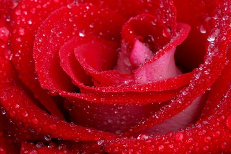 dew covered red rose Stock Photo