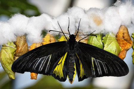 Tropical butterfly (Troides rhadamantus) on cocoons photo