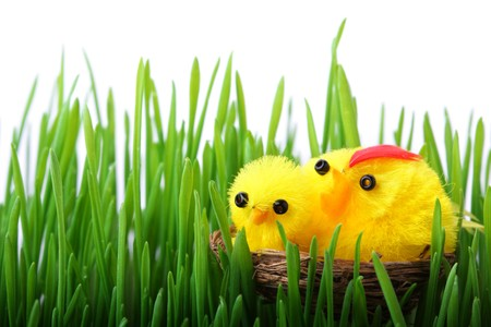 Easter chicks in the grass isolated on white background photo