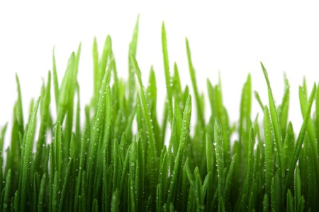 Wet grass isolated on white background photo