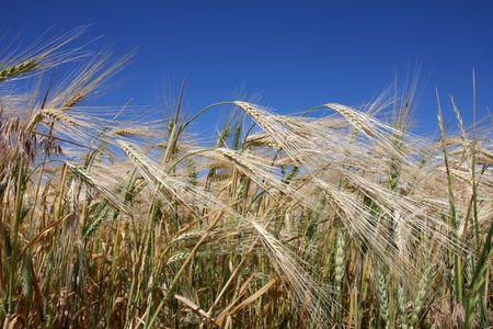 winter wheat: Ripening winter wheat