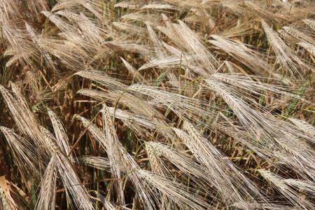 Ripening winter wheat  photo
