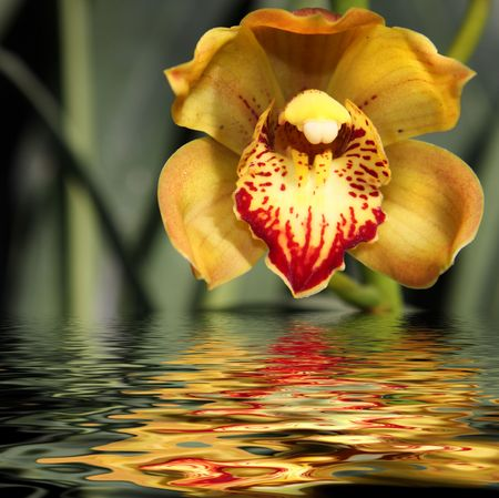 Yellow orchid reflected in water