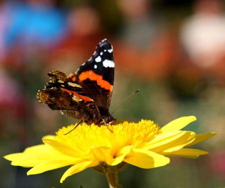 Butterfly on yellow chrysanthemum photo