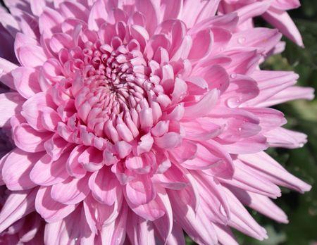 pith: Beautiful pink chrysanthemum