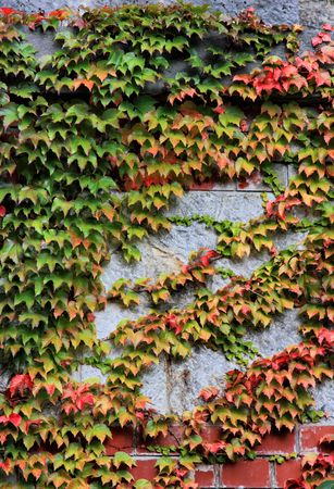 twined: Wild vines twined on the stone wall Stock Photo