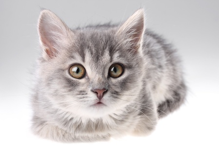 Cute gray kitten on the neutral background
