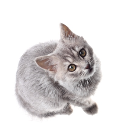 looking upwards: Cute gray kitten looking up isolated on the white background Stock Photo