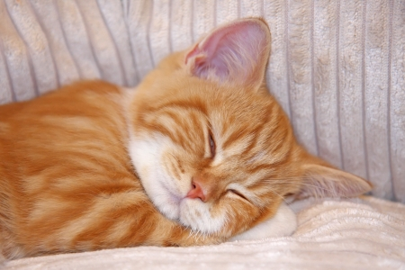 Cute red kitten sleeping on the plush couch, shallow depth of field photo