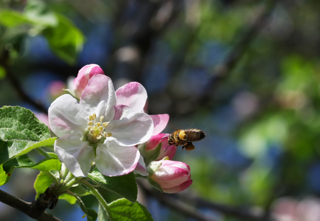 lush: Apple tree flowers with little bee