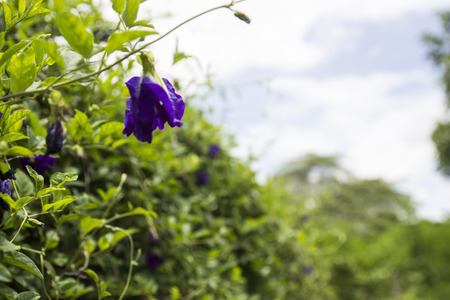 butterfly pea or  Blue pea vine with blue sky background photo