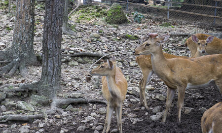 a group of male and female deer  photo