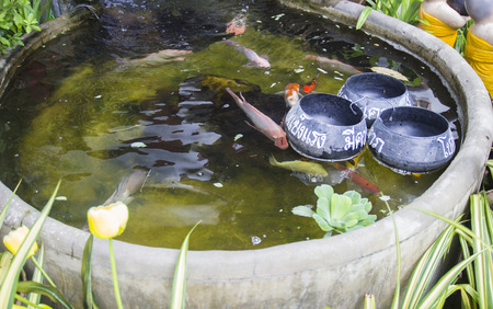 the carp fish in the pool with artificial waterfall photo