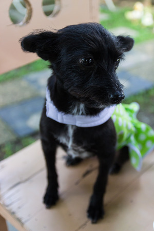 cur: mongrel black dog wearing green cloth sitting on wooden chair
