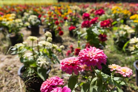 plot: colorful blooming zinnia flowers in flower plot Stock Photo