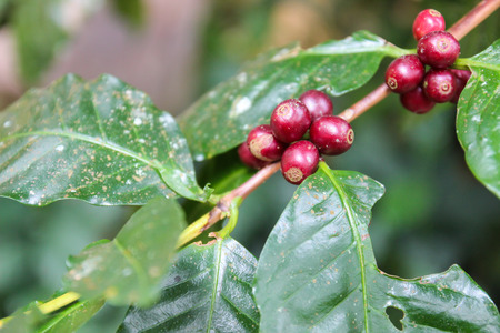 coffee berry: ripe coffee berry fruit in agricultural farm Stock Photo