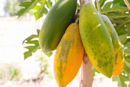papaya tree: green and yellow papaya fruit on tree trunk