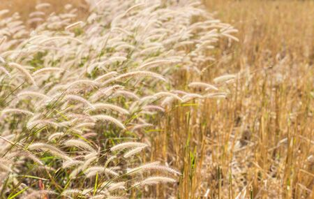windy day: grass flower in the paddy field in windy day