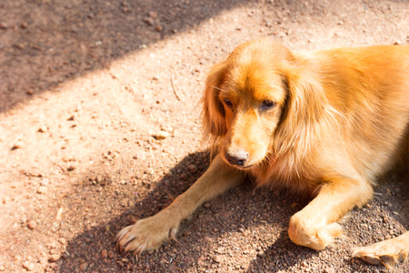 cur: mongrel brown dog is laying on the ground