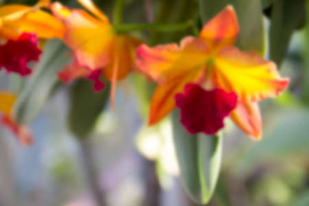 red orchid: blurry defocused image of yellow and red orchid for background