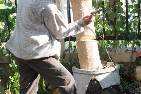cutting horse: Chiangmai, Thailand - January 5, 2015: The gardener cut the Horse Radish Tree in the garden  in Rungarroon village. Stock Photo