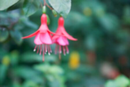ladys: blurry defocused image of ladys eardrops flower for background