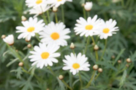 blurry defocused image of white daisy flower in flowerbed for background photo