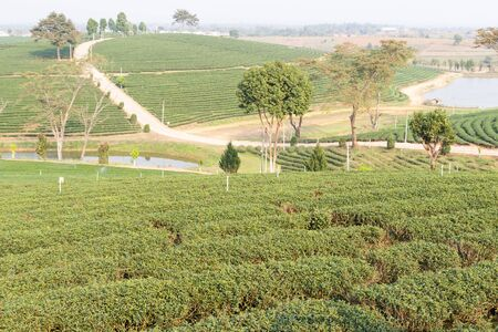 oolong: the view of oolong tea farm in rural thailand