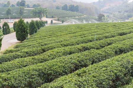 oolong tea: the view of oolong tea farm in rural thailand