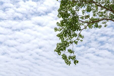 leaves of Sacred Fig tree with blue sky and cloud Stock Photo