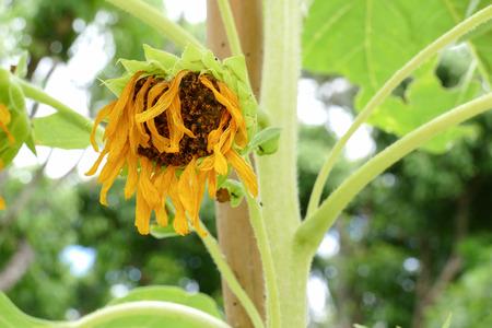 verwelkte zonnebloem in de bloempot in de tuin
