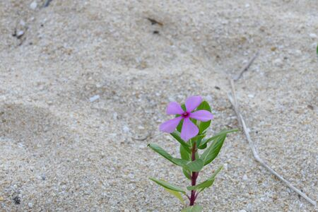 morado: purple flower growing from the sand on the beach