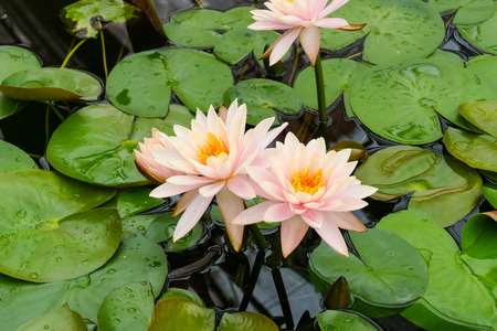 orange water: blooming orange water lily in the  pond Stock Photo