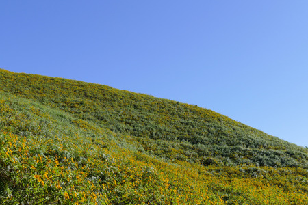 tree marigold: Tree marigold, Mexican tournesol, Mexican sunflower, Japanese sunflower on the hill Stock Photo